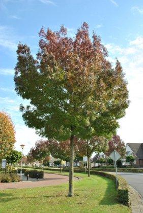 Fraxinus-angustifolia-raywood