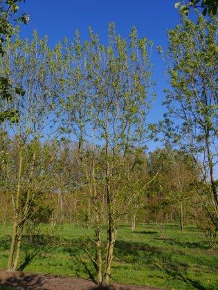 Fraxinus Angustifolia Raywood 1-1