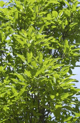 Fraxinus Excelsior Diversifolia-1