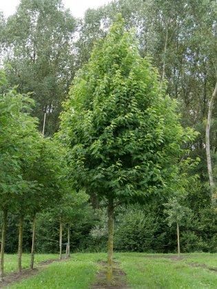 Halesia Monticola 45-50 Kla Custom