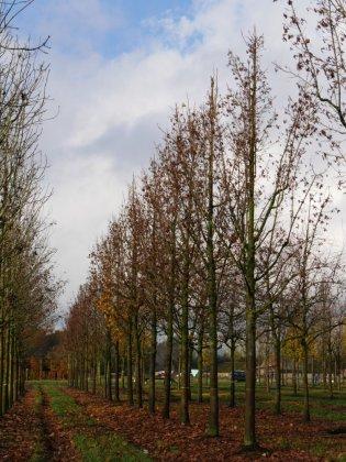 Acer Platanoides Columnare 5