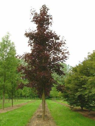 Acer-platanoides-crimson-king