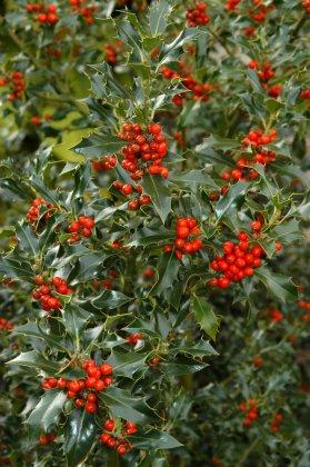 Ilex Aquifolium-1