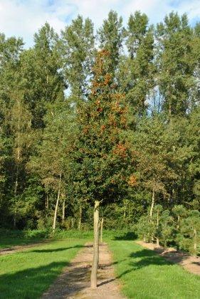 Ilex Aquifolium 4
