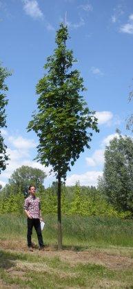 Acer-platanoides-emerald-queen-25-30