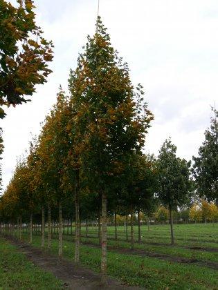 Acer-platanoides-emerald-queen-35-40-ai-5