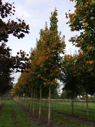 Acer-platanoides-emerald-queen