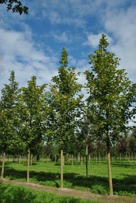 Acer-platanoides-farlake-s-green