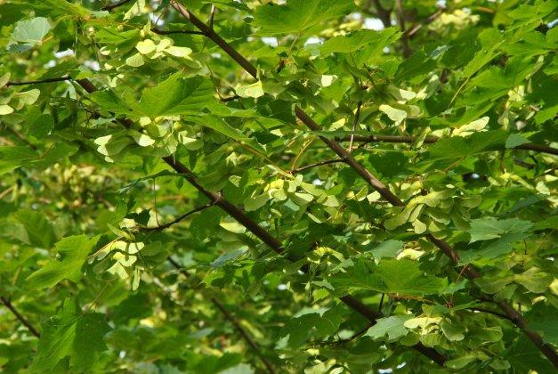 Acer Platanoides Farlakes Green-1