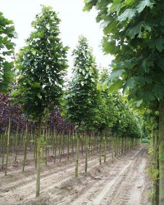 Acer-platanoides-olmsted-20-25
