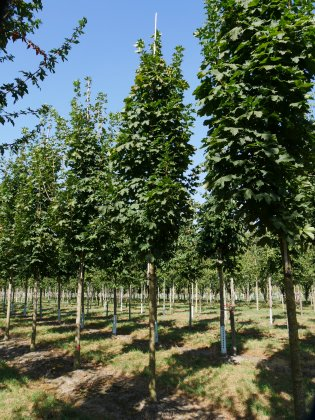 Acer-platanoides-olmsted-25-30-dia