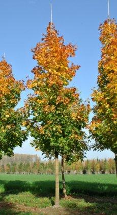 Acer-platanoides-peterse-gruene