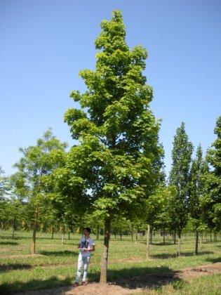Acer Platanoides Peterse Grune 1