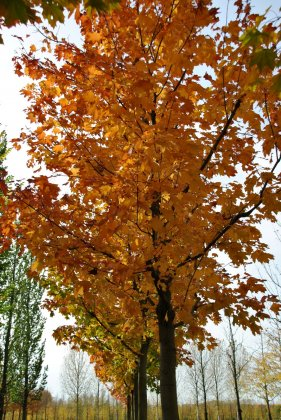 Acer-platanoides-reitenbachii