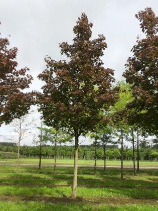 Acer Platanoides Reitenbachii 1
