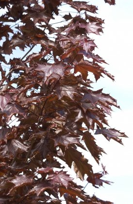 Acer Platanoides Royal Red-1