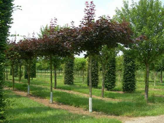 Acer Platanoides Royal Red-2