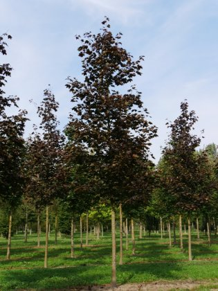 Acer Platanoides Royal Red 3