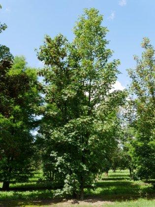 Acer Pseudoplatanus 1-1