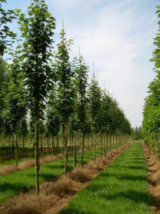 Acer Pseudoplatanus Bruchem 2