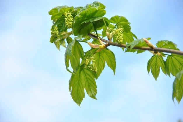 Acer Pseudoplatanus Bruchem 3