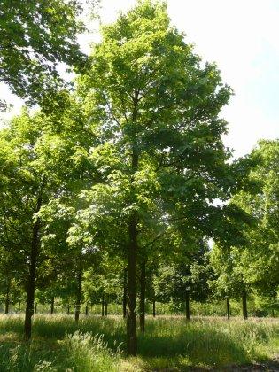 Acer-pseudoplatanus-negenia-80-90-hg