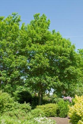 Acer-pseudoplatanus-negenia