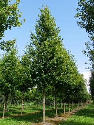 Acer-rubrum