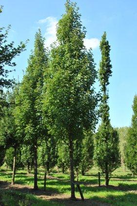 Acer-rubrum-karpick-35-40