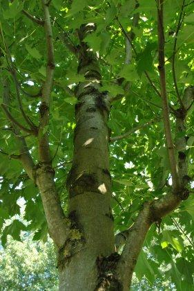Acer-rubrum-karpick
