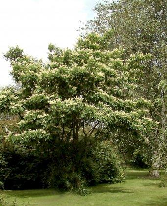Maackia-amurensis