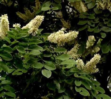 Maackia Amurensis 2