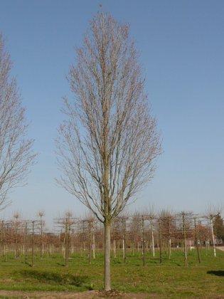 Acer Rubrum Scanlon 1
