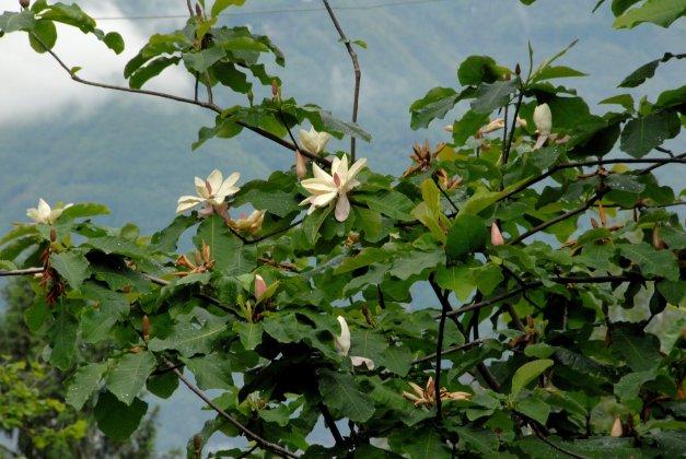 Magnolia-hypoleuca