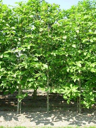 Magnolia Hypoleuca 1