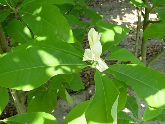Magnolia Hypoleuca 3