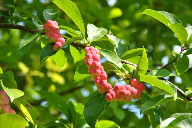 Magnolia Kobus 1 1