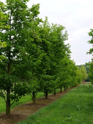 Magnolia Kobus 5