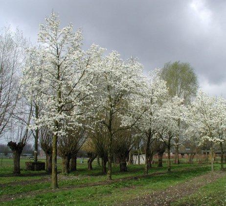Magnolia Kobus 6