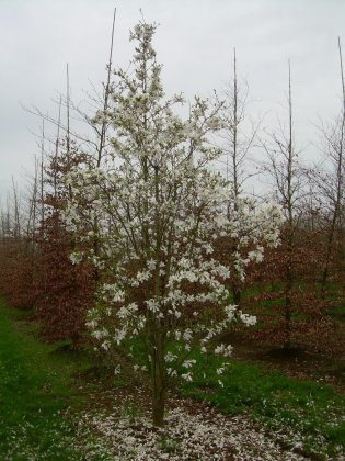 Magnolia Kobus 8