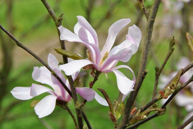 Magnolia Loebneri Leonard Messel-1