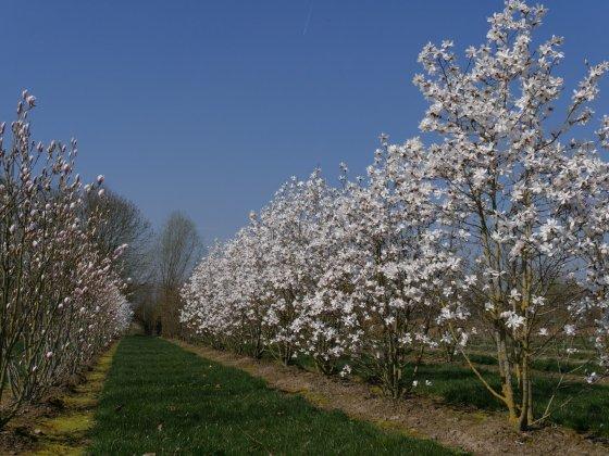 Magnolia Loebneri Leonard Messel 4