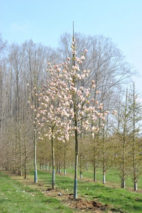 Magnolia Soulangeana 3