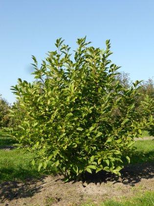 Magnolia Soulangeana 5