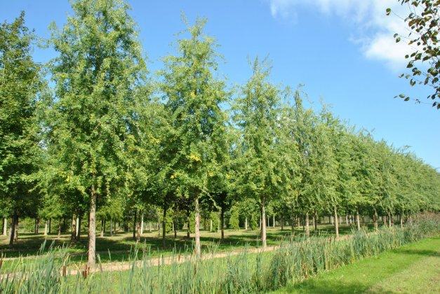 Acer Saccharinum Asplenifolia