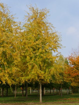 Acer Saccharinum Asplenifolium 1