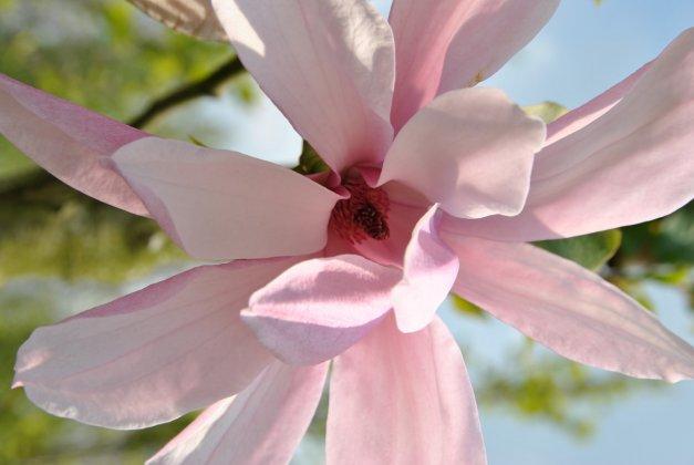 Magnolia Galaxy 1