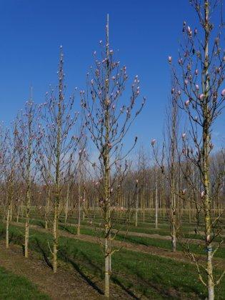 Magnolia Heaven Scent 2
