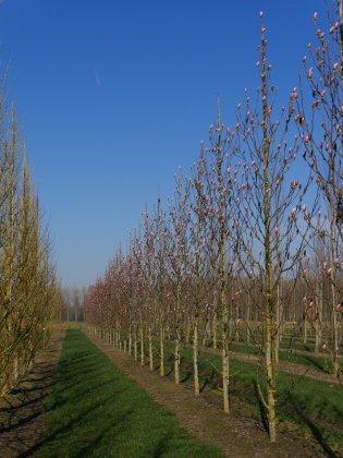Magnolia Heaven Scent 4