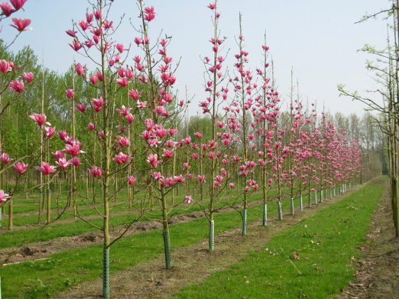Magnolia Spectrum 1
